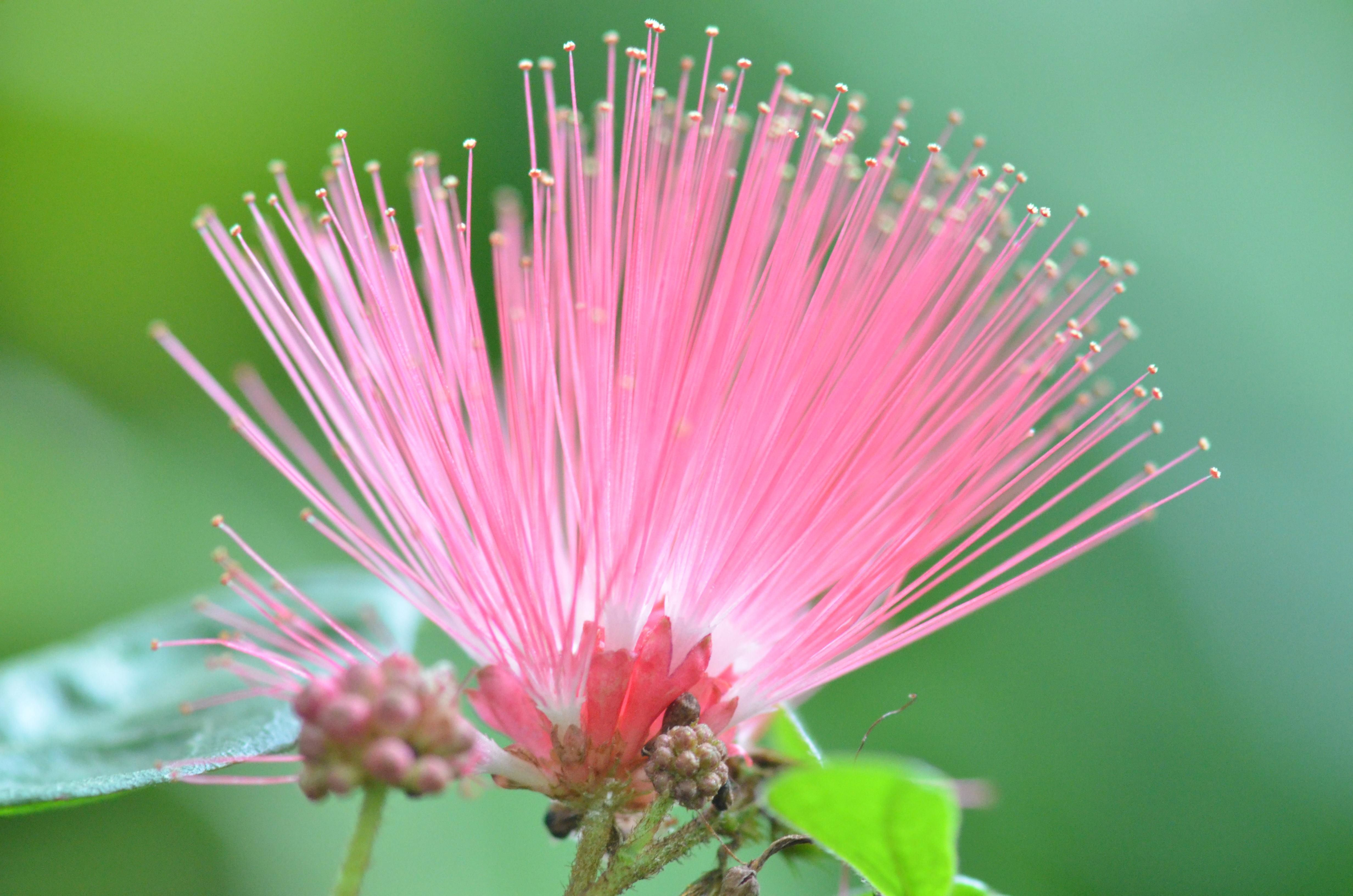Powder Puff Trees, How to Grow and Care for Calliandra Powder Puff Powder puff tree pictures