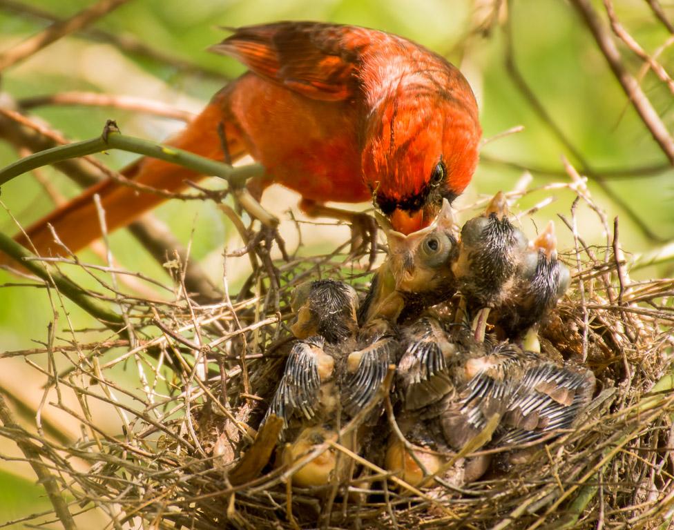 Cardinals Feeding