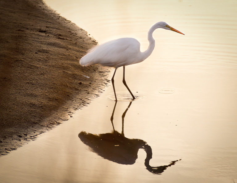 Egret with Evening Shadow