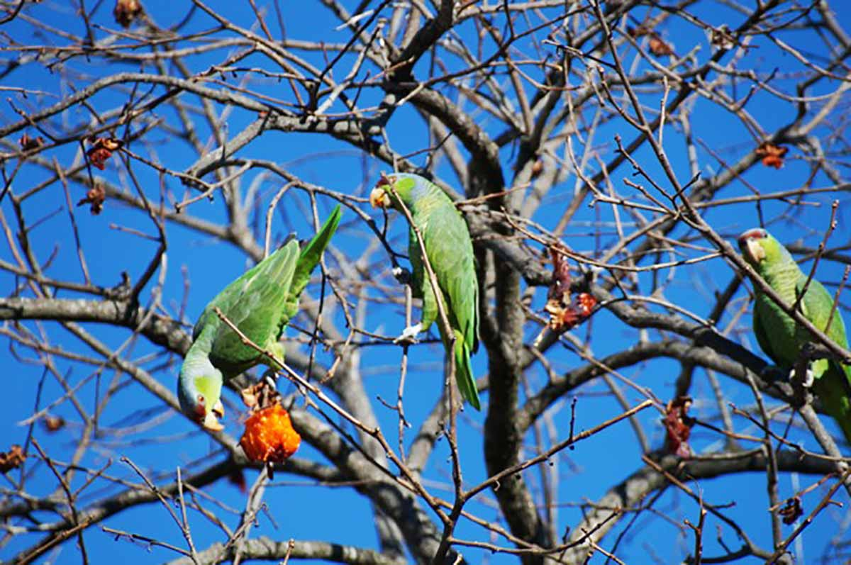 Three in a Persimmon Tree